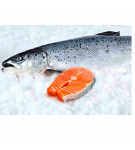 SALMON FRESCO ENTERO CALIBRE+5 X KG.